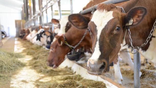 Les stress thermiques peuvent causer des pertes allant jusqu'à 400 $ par vache par jour lors des périodes de canicule.