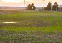 La sortie du blé d'automne est excellente. Crédit photo: Martin Ménard/TCN