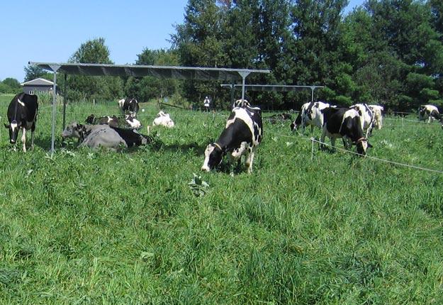 Un tissu de protection UV à 80 % est placé à plat sur le dessus de la structure (ombrière mobile) et crée assez d'ombre pour un maximum de six vaches. Chaque structure mesure 3 m x 6 m et sa base est en forme de ski afin de permettre de glisser facilement l'ombrière à un autre endroit avec un tracteur au pâturage. Pour déplacer les trois structures, il faut prévoir environ 10 minutes chaque matin lorsque les vaches sont transférées dans une bande fraîche de pâturage. Crédit photo: PBQ