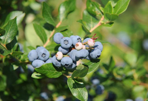 Les bleuets dominent la production de fruits au Québec et sont cultivés sur près de 72 000 acres. Crédit photo: Archives TCN
