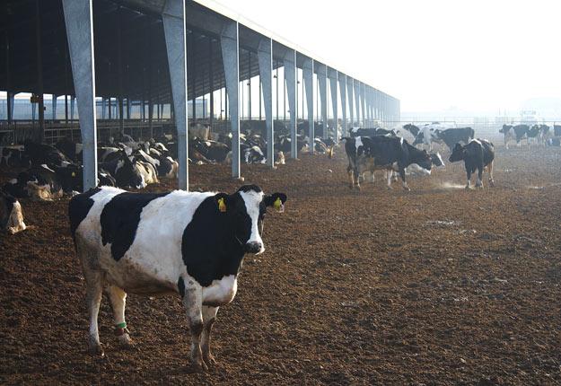 Les fermes laitières américaines, comme celle-ci en Californie, ont bénéficié de l'ALENA, de sorte que le pays est passé d'importateur net pour devenir un important exportateur. Crédit photo : Martin Ménard/Archives TCN