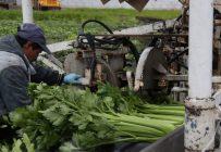La récolte québécoise de céleri promet d'être abondante, mais il n'y en aura pas avant trois semaines sur les étalages. Crédit photo : Archives/TCN