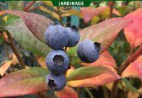Le bleuet Perpetua donne une première fructification en même temps que les autres et une deuxième en automne. Crédit photo : Rock Giguère