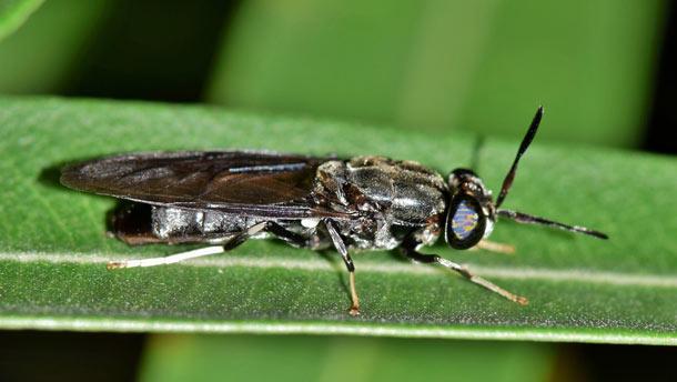Les mélanges nutritifs sont donnés à des larves de mouches soldats noires afin d'évaluer l'impact des diètes sur leur croissance, leur productivité ainsi que sur la bioconversion. Crédit photo : Gracieuseté de la FSAA