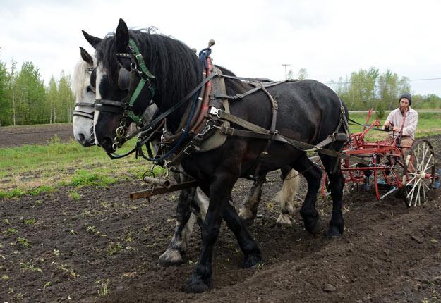 Louis aux guides de son cultivateur, un instrument polyvalent qu'il contrôle avec des pédales de direction ainsi qu'avec la complicité de ses amis chevaux. Crédit photo : Yves Charlebois