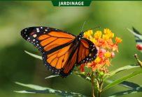 L'asclépiade est la plante tout indiquée pour attirer les monarques dans son jardin.