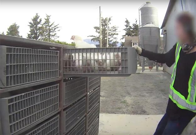 La vidéo de Mercy for Animals montre des poulets qui subissent des sévices importants. Plusieurs n'en ressortent pas vivants. Crédit photo: Mercy for Animals