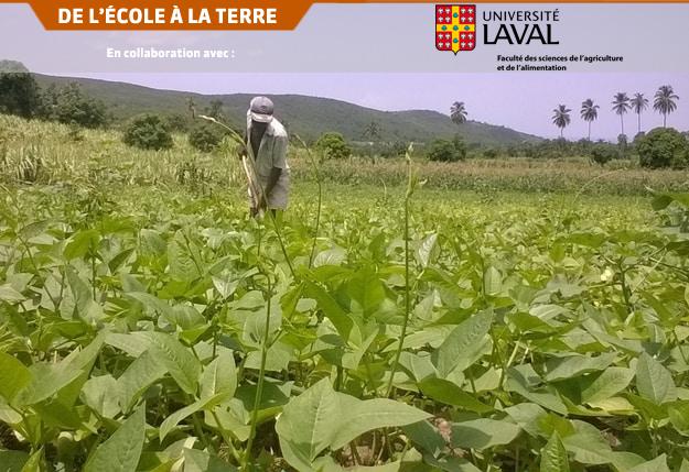 Parcelle de niébé (Vigna unguiculata) dans la 4e section communale de Saint-Marc, Haïti. Photo : Équipe du projet AKOSAA de l'Université Laval