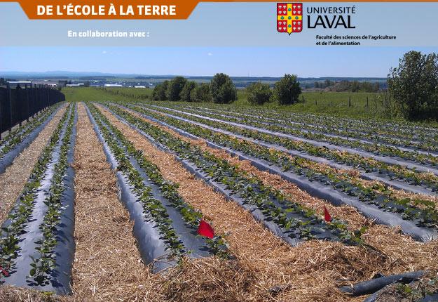 Au Québec, 42 % de la production de fraises est cultivée sur des sols considérés comme très drainants. Crédit photo : FSAA