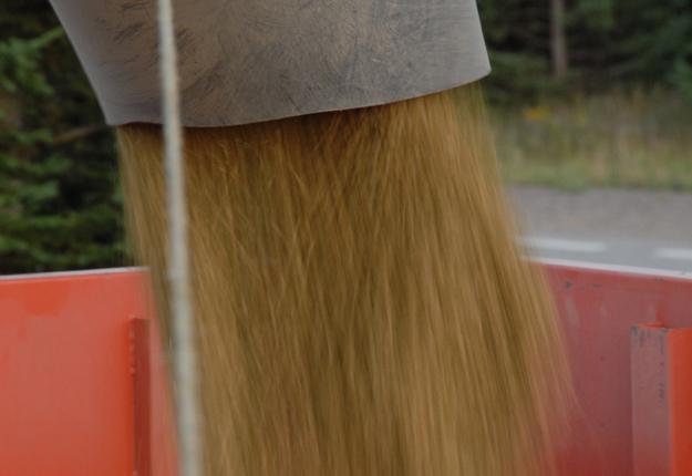 Le maïs devrait être récolté entre 22 et 24% d'humidité selon Robert Monast. S'il est trop sec, il y aura des pertes lors de la récolte. Crédit photo: Archives/TCN