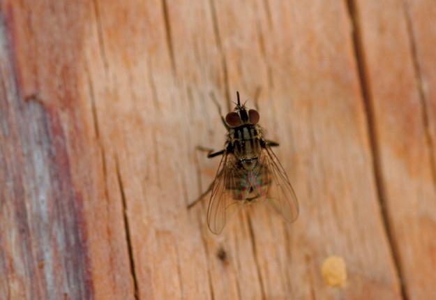 La mouche piqueuse des étables est présente au pâturage, mais elle colonise aussi les bâtiments de ferme. Crédit photo : Whitney Cranshaw, Colorado State University, Bugwood.org