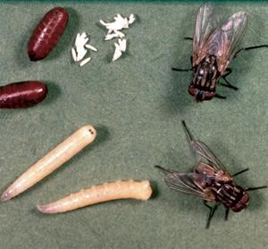 Les mouches domestiques, très communes dans les bâtiments de ferme, à différents stades de croissance : œufs, larves, pupes (cocons brunâtres) et adultes. Crédit photo : Clemson University - USDA Cooperative Extension Slide Series, Bugwood.org