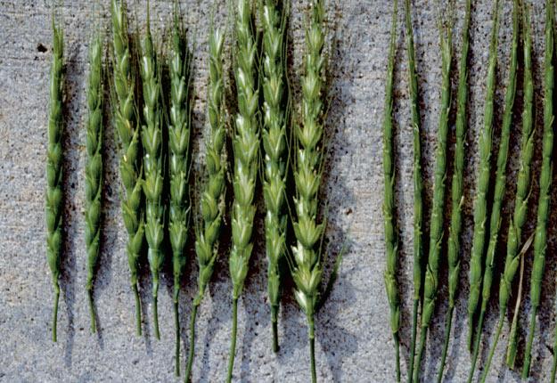 L'égilope cylindrique, aperçue en zones non cultivées en Ontario et en Colombie-Britannique, pourrait atteindre toutes les régions canadiennes de culture du blé. Crédit photo : Olivier Nawrot, pour l'Inventaire National du Patrimoine Naturel [INPN], Paris, France.