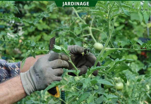 Doit on tailler ses plants de tomates en t la terre de chez nous - Tailler plant de tomate ...