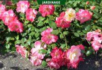 Le rosier 'Campfire' donne une fleur d'abord jaunâtre, qui devient de plus en plus rose ou rouge au fur et à mesure que la saison avance. Photo : Rock Giguère