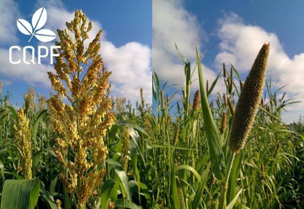 Sur la photo, le sorgho sucré (à gauche) et le millet perlé sucré (à droite). Crédit photos: Hugo Alix