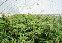 Les Producteurs en serre du Québec estiment détenir l'expertise nécessaire pour produire de la marijuana récréative de façon efficace. Photo: Shutterstock