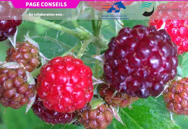 L'optimisation des systèmes de production de petits fruits tels que la framboise noire permet d'obtenir une production locale de qualité. Photo : OAQ.