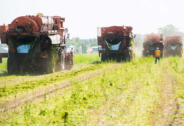La récolte de pois de transformation est en cours au Québec et les résultats ont de quoi étonner. Photo : Martin Ménard/TCN
