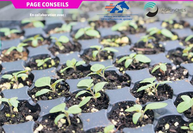 Ces plantules de morelle noire de l'Est en plateaux multicellules permettent de conduire en serre des tests de détection de la résistance.