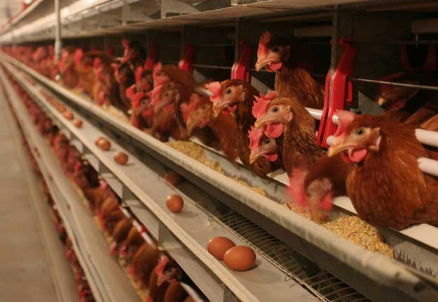 Le scandale a éclaté après la découverte d'œufs contaminés vendus en Belgique et aux Pays-Bas. La crise s'est ensuite étendue à l'Allemagne, la Suisse, la Suède et la France. Photo: Archives