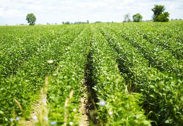 Le prix du soya est en forte baisse au Québec, tandis que celui du maïs diminue de façon moins radicale. Crédit photo: Archives TCN
