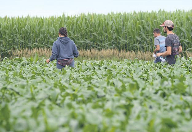 À tous les 14 m, les chercheurs de l'IRDA ont accroché des trichocartes aux feuilles de maïs sucré dans le champ de M. Laflamme. Crédit photo : Myriam Laplante El Haïli/TCN