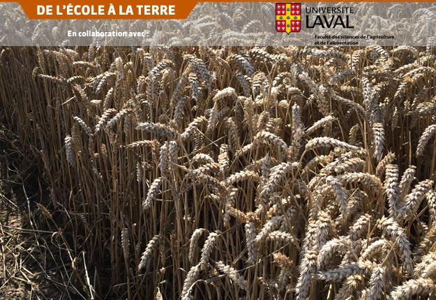 La date de semis a une grande influence sur le rendement du blé d'automne au Québec. Crédit photo : FSAA