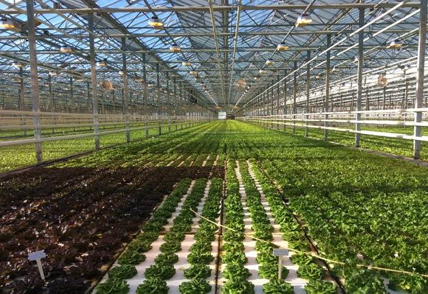 De plus en plus de producteurs de légumes en serre obtiennent la certification biologique, selon le directeur général des Producteurs en serre du Québec, Claude Laniel. Crédit photo : PSQ