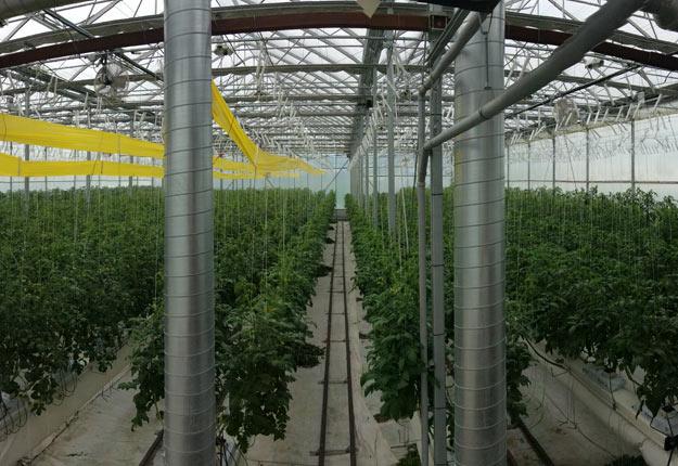 Les gros producteurs de tomates optent souvent pour un système à la biomasse. Crédit photo : Producteurs en serre du Québec