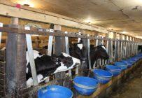 La production de veau de lait pourrait être contrôlée à 90 % par l'entreprise Délimax. Crédit photo : Archives/TCN