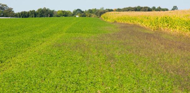 La luzerne HarvXtra a été génétiquement modifiée pour résister au glyphosate (un herbicide non sélectif). La partie de gauche de ce champ a été pulvérisée de glyphosate par hélicoptère tandis que la partie de droite n'a pas pu être pulvérisée par le pilote, affichant un plus haut niveau de mauvaises-herbes.   Crédit photo : Martin Ménard / TCN