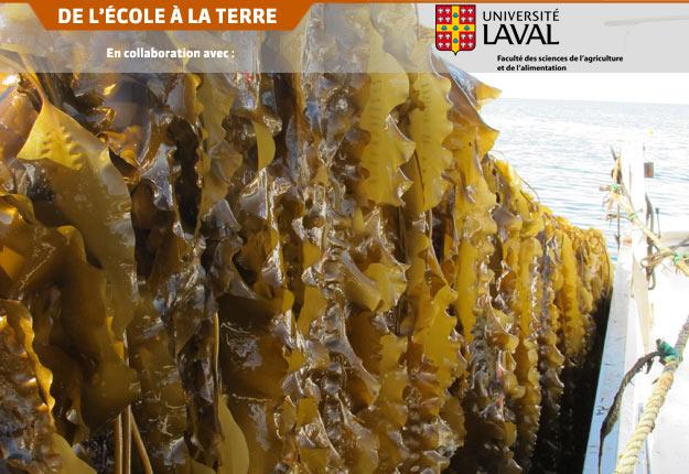 Au Québec, les premières récoltes commerciales d'algues ont eu lieu cet été. Crédit photo : Merinov