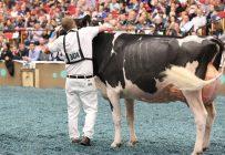 Jacobs Windbrooke Aimo, de la Ferme Jacobs à Cap-Santé, a remporté les titres de Grande Championne Holstein et de Championne intermédiaire Holstein, à Madison. Crédit photo : Gracieuseté de Farmgirl Photography