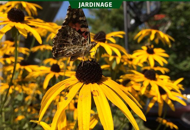 Ce phénomène d'invasion de papillons belles dames surviendrait tous les cinq ou dix ans. Crédit photo : Richelle Fortin / TCN