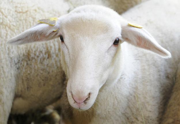 Le Centre d'expertise en production ovine du Québec voit son travail récompensé. Crédit photo : Archives/TCN