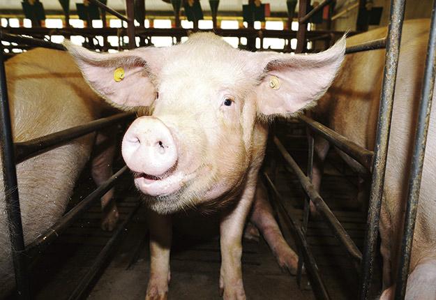 Les animaux ayant le meilleur statut sanitaire devraient être placés dans les lieux comportant les indices de dangerosité les plus élevés. Crédit photo: Archives TCN