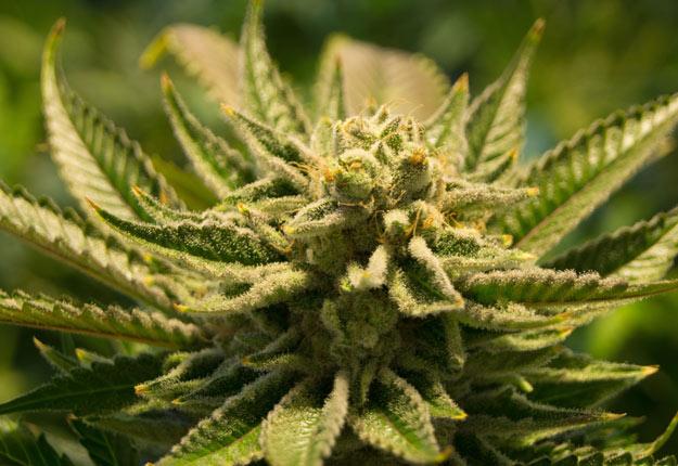 Le projet de loi prévoit la possibilité de posséder jusqu'à 30 g de cannabis séché sur soi et une quantité de 150 g à son domicile. Crédit photo : Archives/TCN