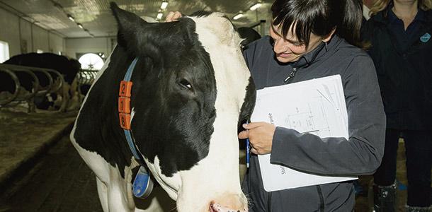 Pour un troupeau de 70 vaches, l'amélioration du confort qui permettrait de gagner une lactation, représenterait une augmentation de la marge de 37 000 $/an. Crédit photo: Valacta