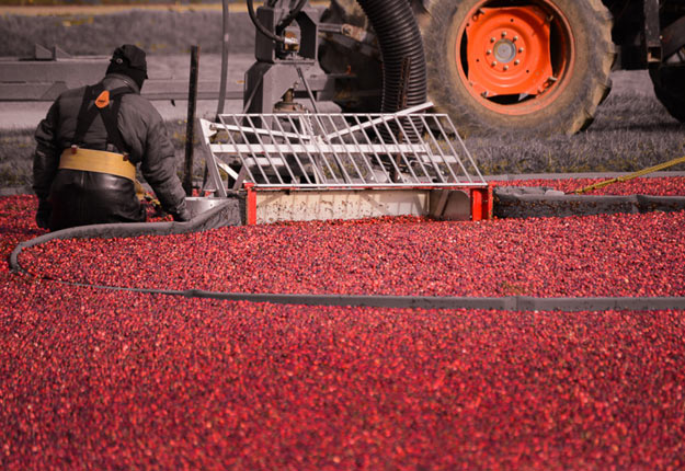 Cette récolte pourrait bien faire perdre au Québec son titre de 2e région productrice de canneberges du monde au profit du Massachusetts. Crédit photo : Karine Lapatrie