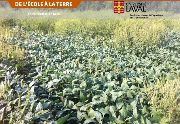 Population résistante à la petite herbe à poux dans un champ de soya de la Montérégie. Crédit photo : Félix Marsan-Pelletier
