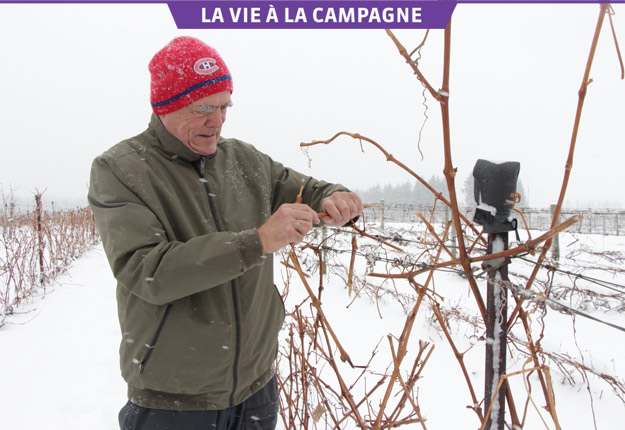 Léon Courville prend un soin méticuleux de son vignoble à Lac-Brome. Crédit photos : Pierre-Yvon Bégin/TCN