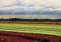 VegPro cultivera de jeunes pousses d'épinards, de roquette, de chou frisé et de mesclun sur 700acres en Colombie-Britannique. Crédit photo : Archives TCN