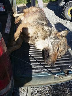 En huit ans, les Migneault ont tué 68 loups. Photo gracieuseté de la famille Migneault.