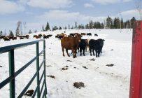 Le troupeau de la Ferme DEM Migneault compte près d'un millier de têtes. La perte de dizaines de veaux à cause des loups est frustrante. Crédit photo: Maxime Authier