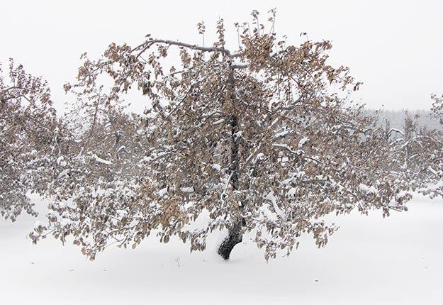 En raison de la chaleur de l'automne dernier, les pommiers ont conservé leurs feuilles. Crédit photo : Pierre-Yvon Bégin / TCN