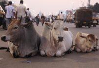 Dans la religion hindoue, on croit que les vaches posséderaient des vertus magiques qui seraient bénéfiques pour ceux qui s'occupent d'elles.