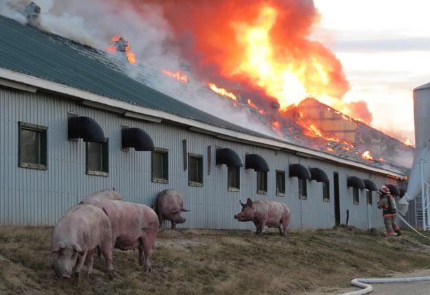 En novembre dernier, un incendie avait complètement détruit la maternité de 1 000 têtes de l'entreprise, située à Saint-Hilarion. Crédit photo : Gracieuseté CIHO FM