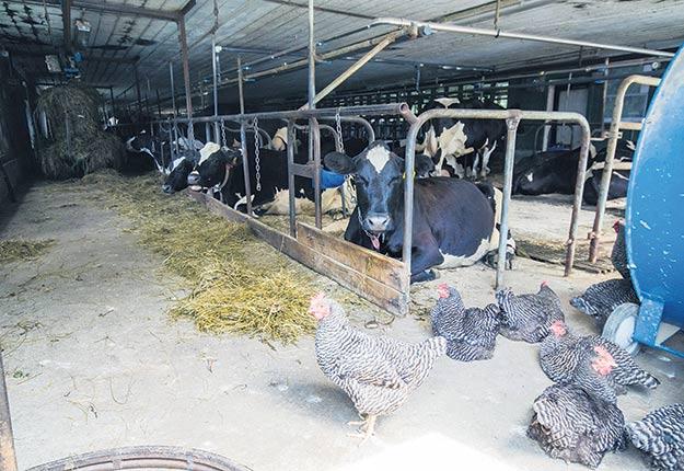Un sondage mené par le Cirano montre que 38répondants ont formulé le souhait de produire du lait de vache sans détenir de quota de production. Crédit photo : Martin Ménard / Archives TCN