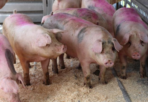 Le marché du porc au Québec est tiré vers le bas par la guerre commerciale qui s'amorce entre les États-Unis et la Chine. Crédit photo : Archives/TCN